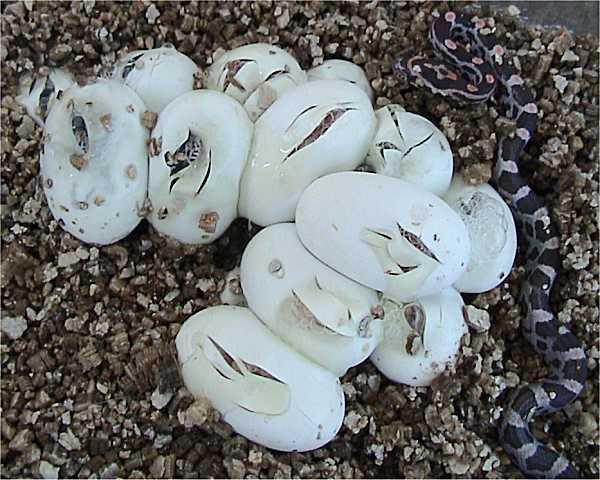 Corn_Snake_eggs